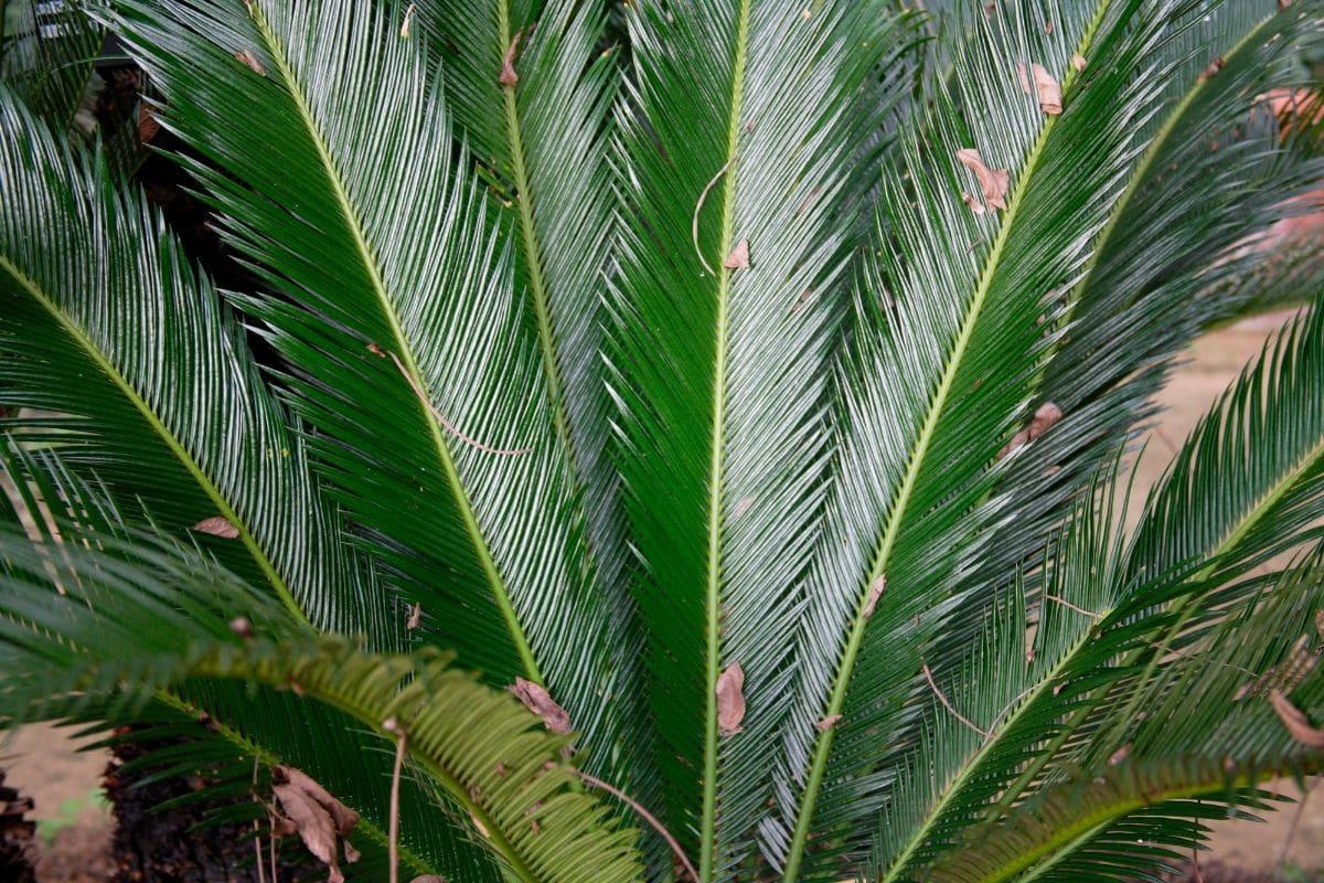 giftiger Farn: Japanischer Palmfarn (Cycas revoluta)