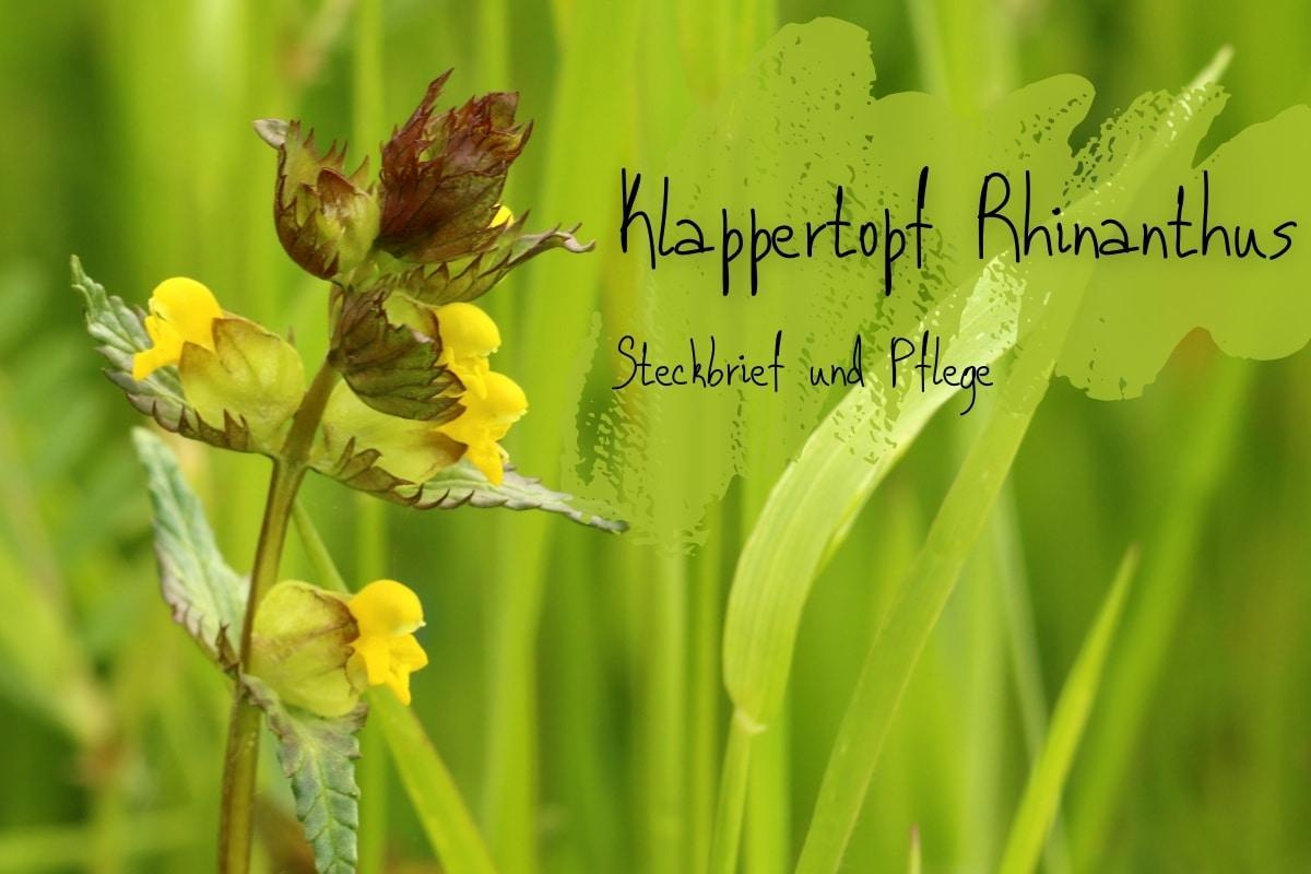 Klappertopf (Rhinanthus) - Titelbild