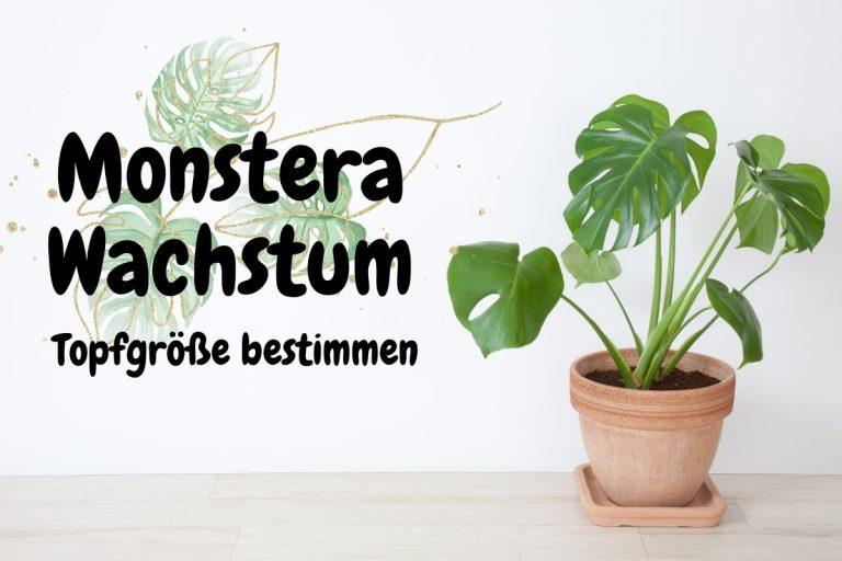 Monstera Wachstum im Jahr | Topfgröße bestimmen - Titelbild