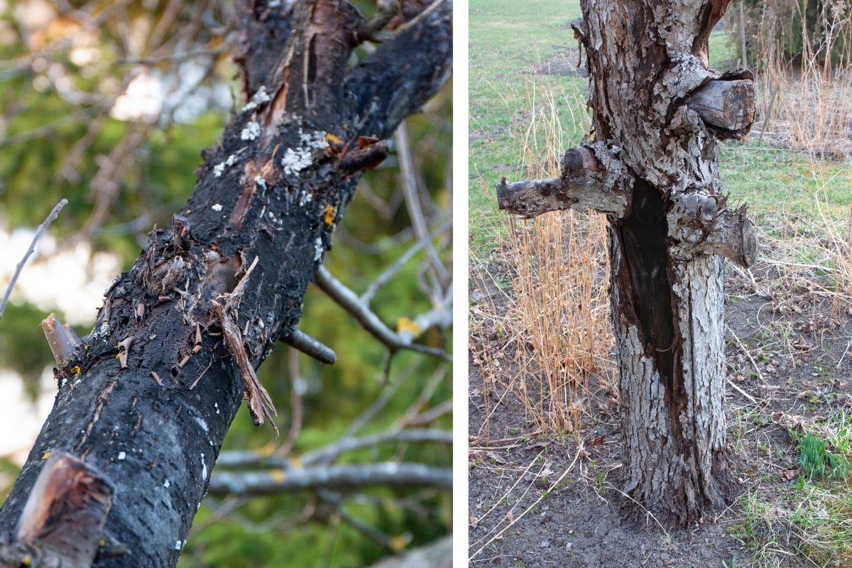 Obstbaumkrebs am Apfelbaum