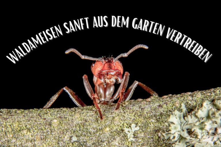 Waldameisen - Titelbild