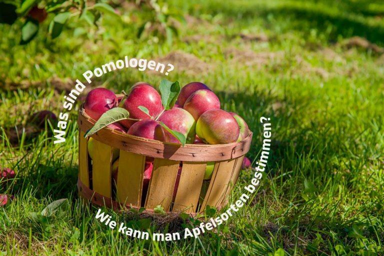 Was sind Pomologen? Wie kann man Apfelsorten bestimmen? Titelbild