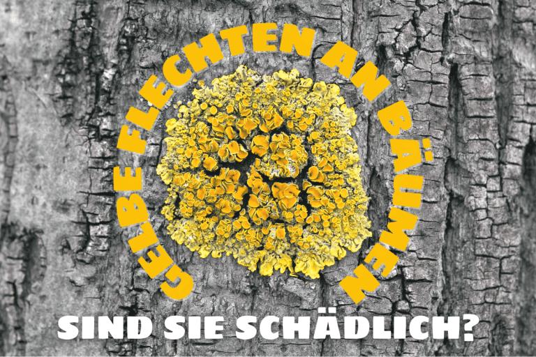 Gelbe Flechten an Bäumen und Sträuchern
