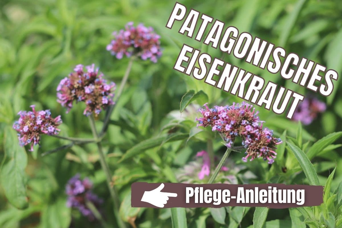 Patagonisches Eisenkraut (Verbena bonariensis)