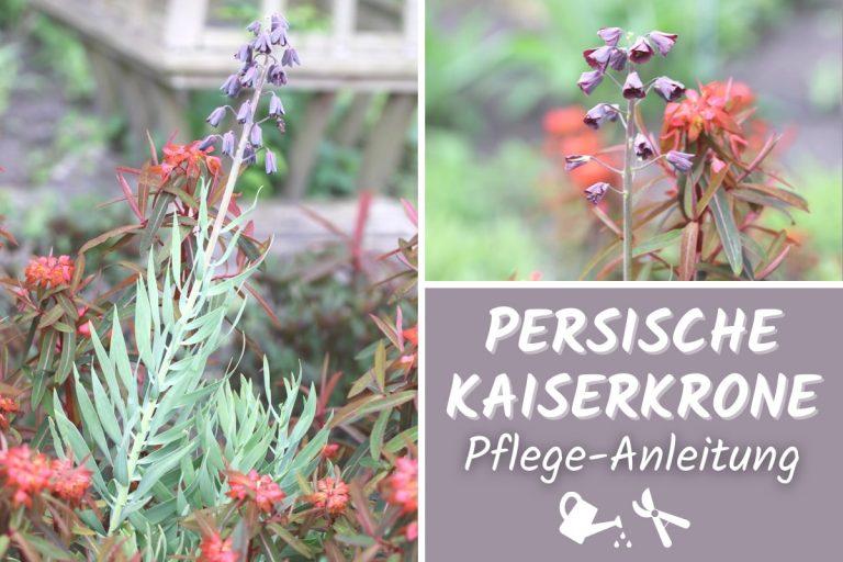 Persische Kaiserkrone (Fritillaria persica)