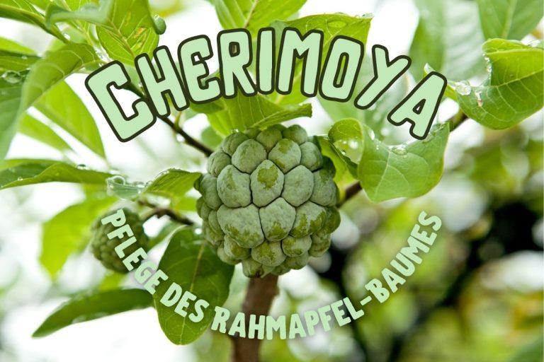 Cherimoya Pflege - Titel