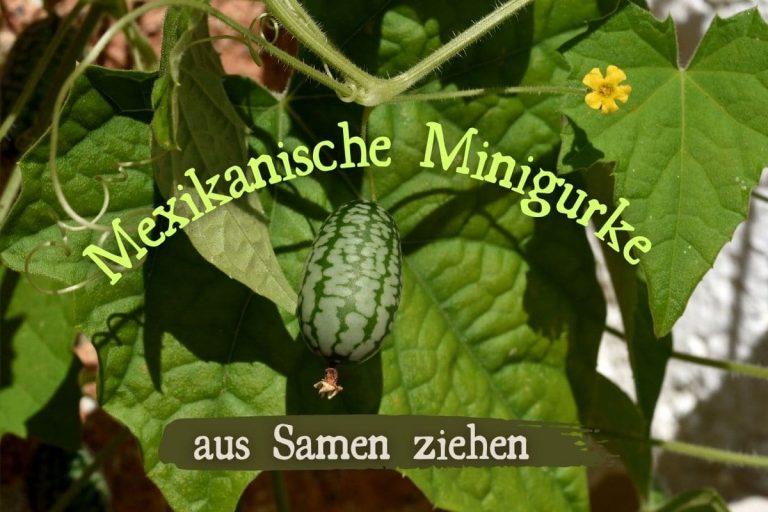 Mexikanische Minigurke aus Samen ziehen - Titel