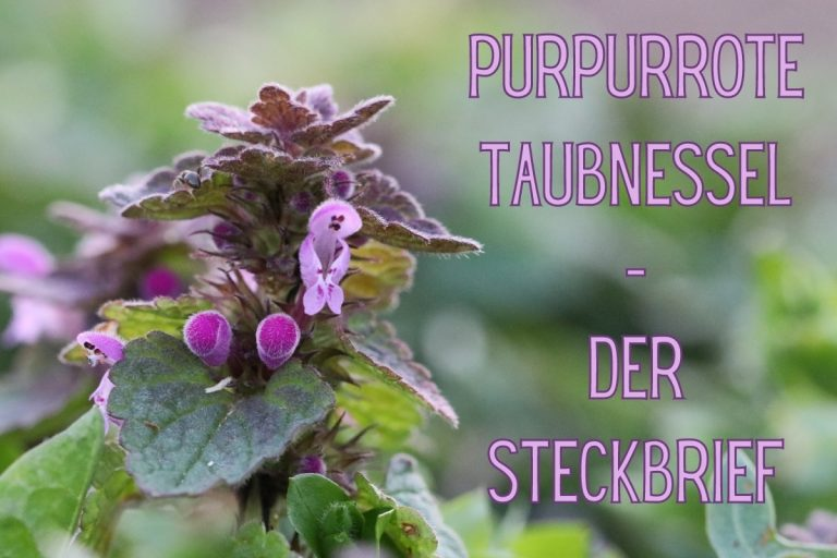 Purpurrote Taubnessel - Titel