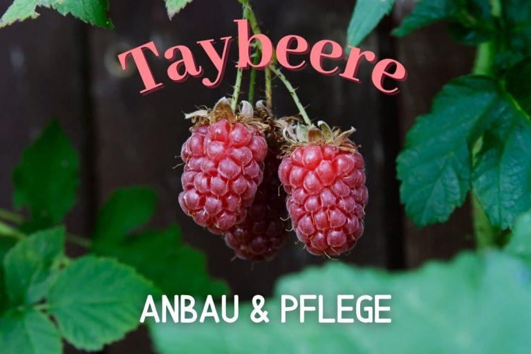 Taybeere - Titel