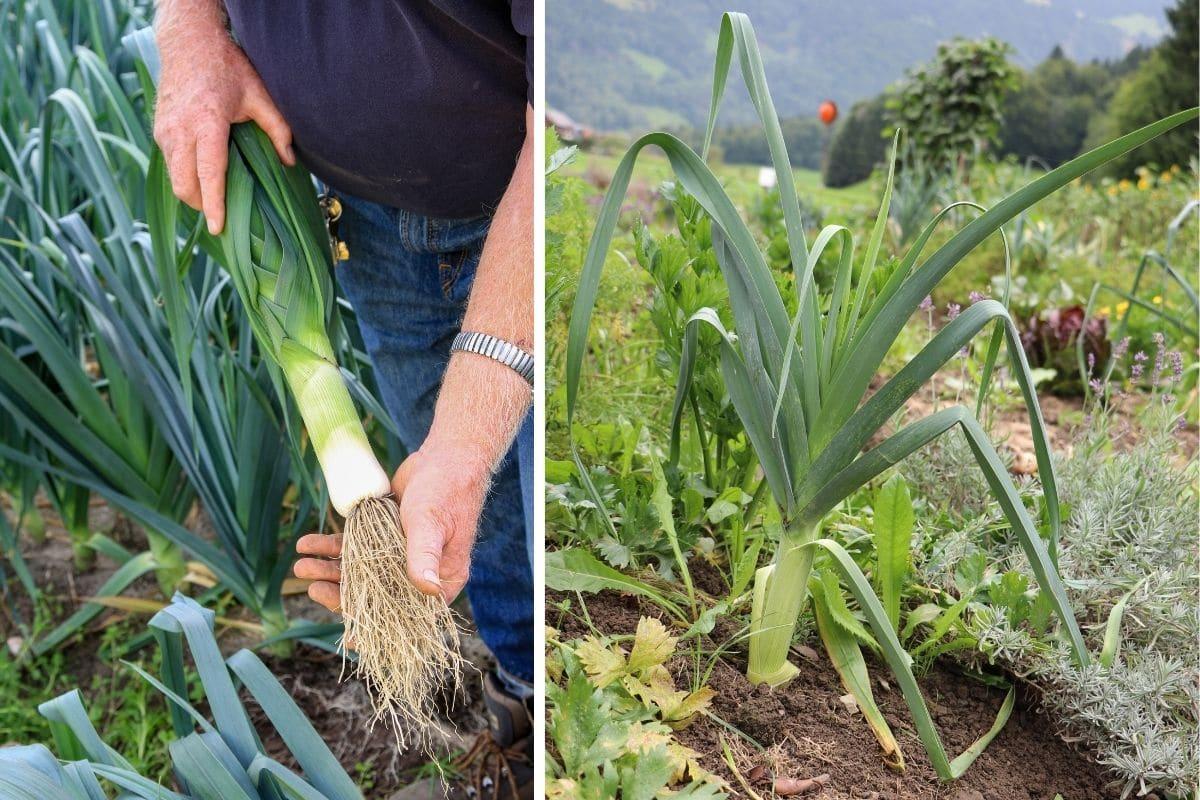 Heimisches Knollengemüse: Ackerlauch/Ackerknoblauch/Sommerknoblauch (Allium ampeloprasum)