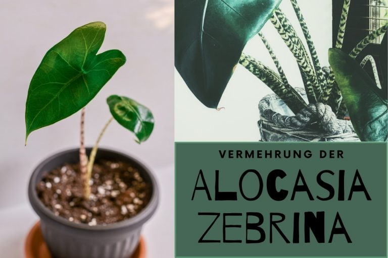 Alocasia zebrina vermehren | So klappt's - Titelbild