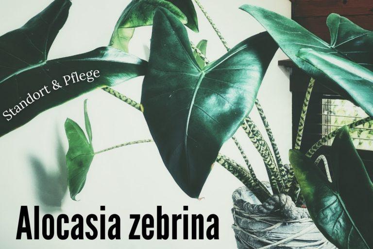 Alocasia zebrina: Standort & Pflege - Titelbild