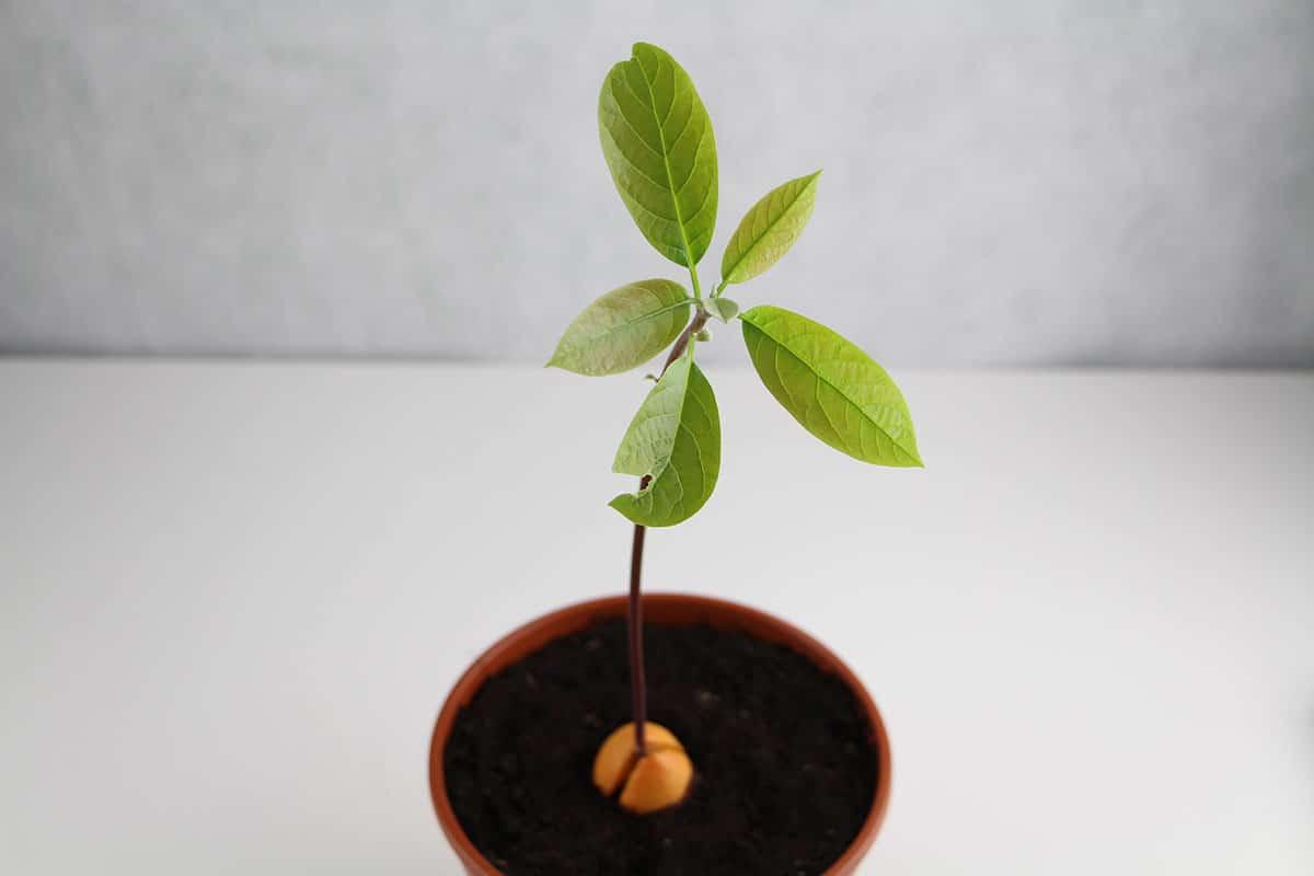 Avocado Jungpflanze