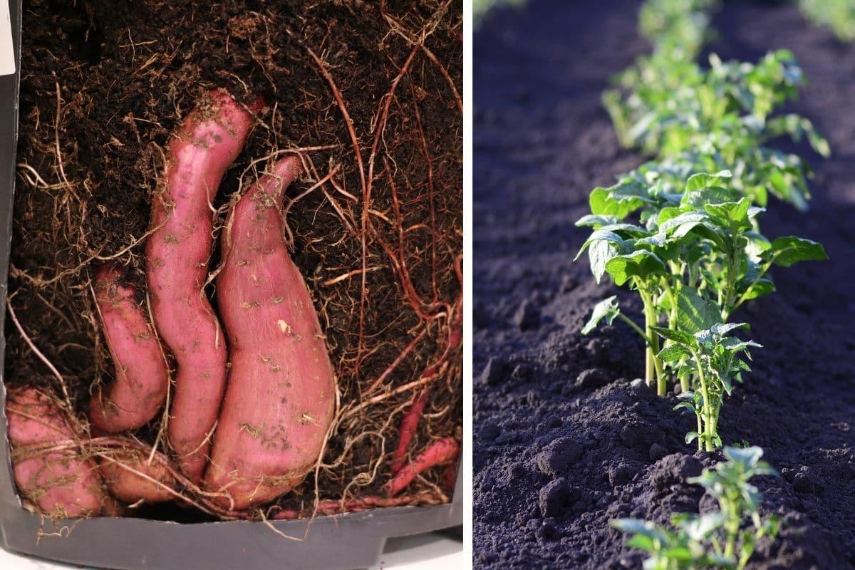 Süßkartoffel/Batate (Ipomoea batata)