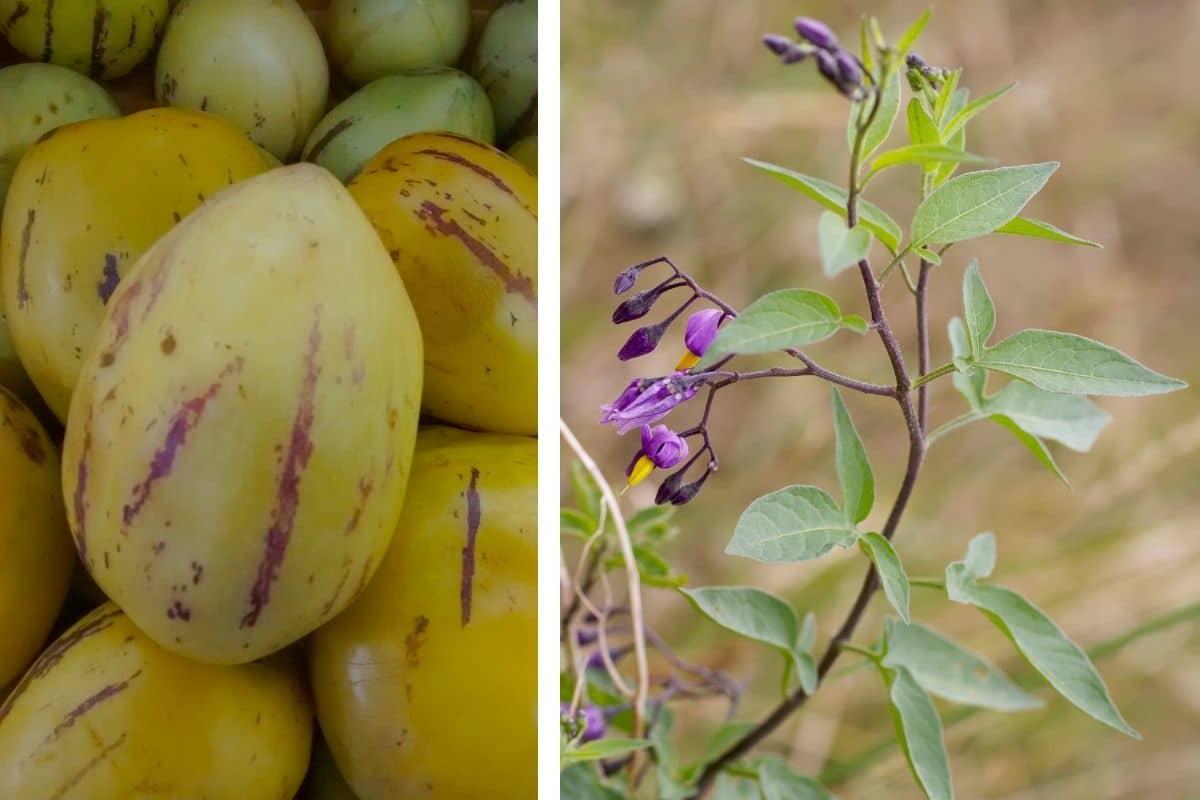 Birnenmelone (Solanum muricatum)