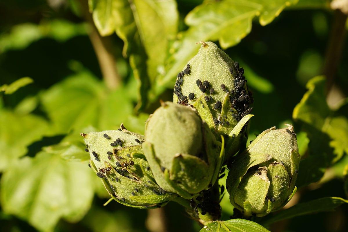Blattläuse (Aphidoidea)