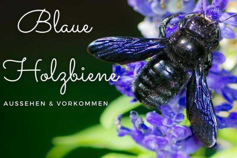 Blaue Holzbiene melden? Aussehen & Vorkommen - Titelbild