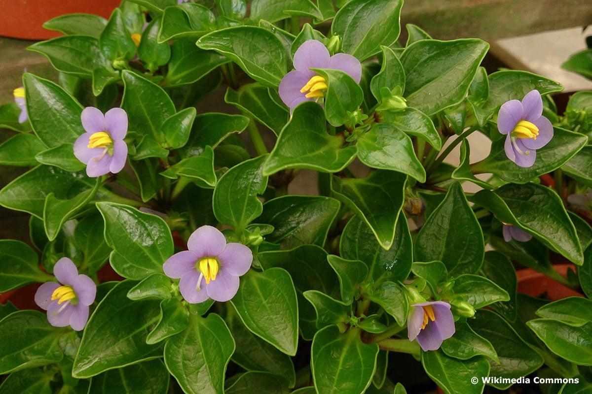 Blaues Lieschen (Exacum affine)
