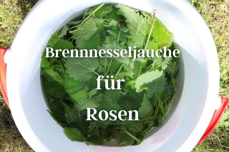 Brennnesseljauche für Rosen - Titelbild
