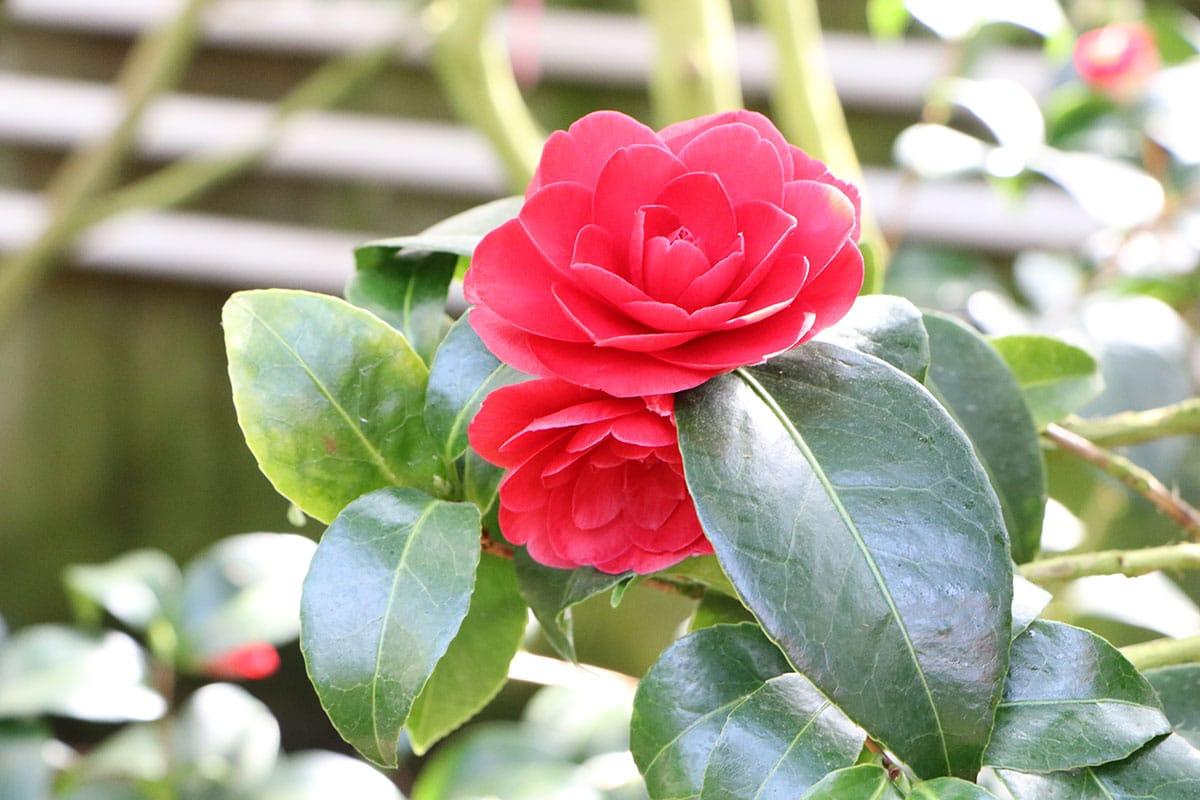 Camellia japonica, Kamelie