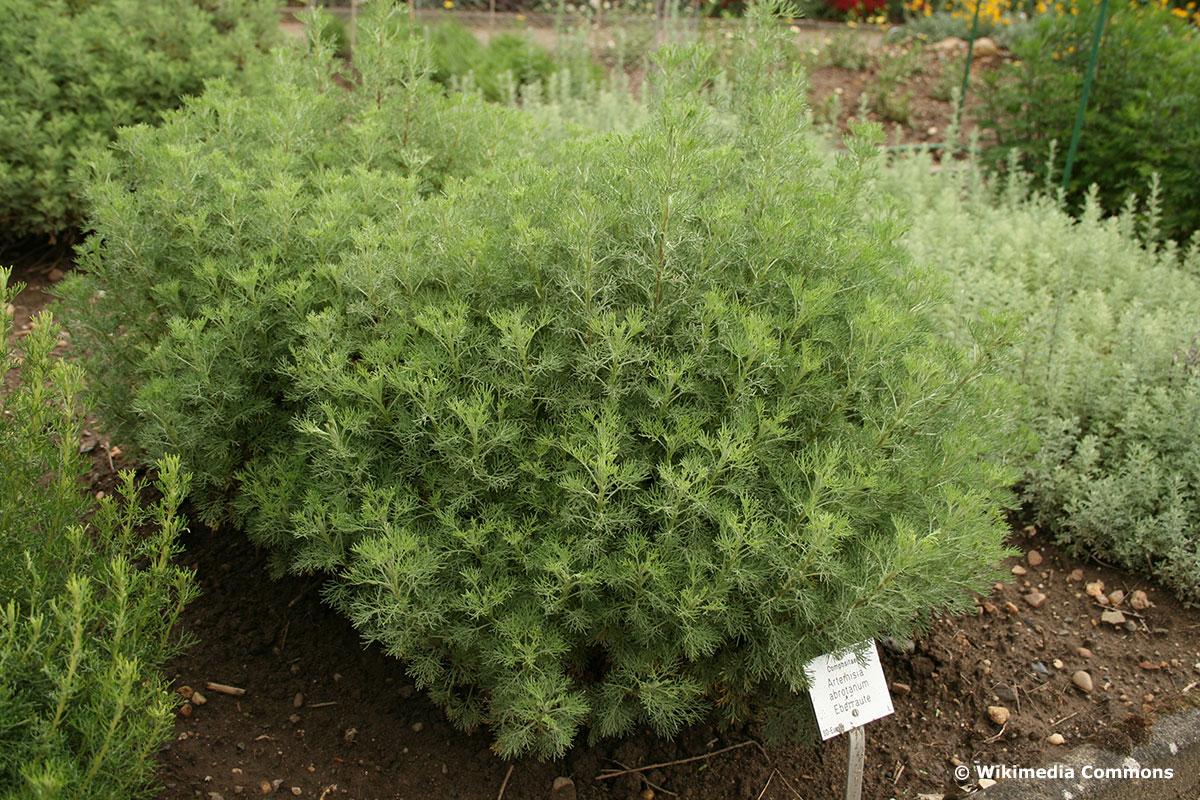 Colakraut (Artemisia abrotanum)