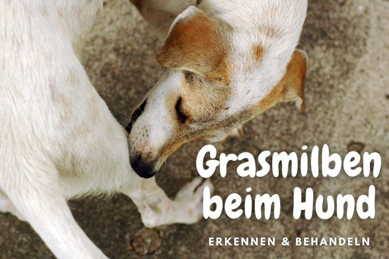 Grasmilben beim Hund | erkennen & behandeln - Titelbild