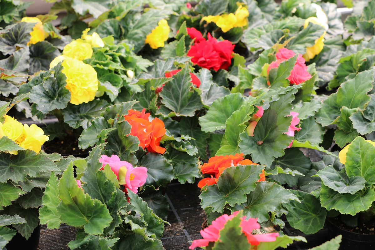 Pflanze für Blumenampel: Hänge-Begonie (Begonia-Tuberhybrida)
