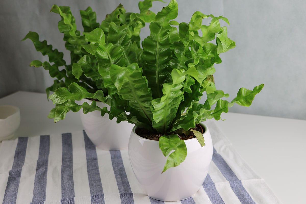 Zimmerfarn: Hirschzungenfarn (Asplenium scolopendrium)