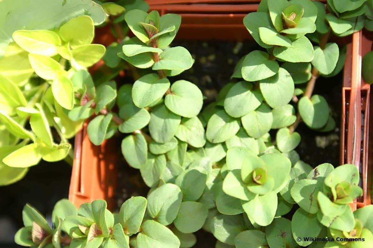 Winterharte Hängepflanzen: Hopfenblütiger Oregano-Dost (Origanum rotundifolium 'Kent Beauty')