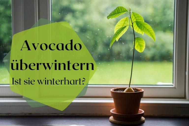 How to Avocado überwintern - Ist sie winterhart? Titelbild