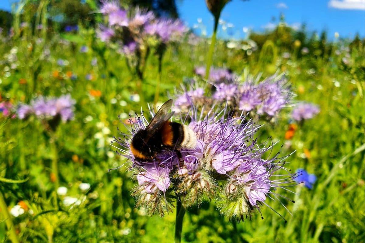 Gegen Hummelsterben pflanzen: Bienenfreund (Phacelia tanacetifolia)