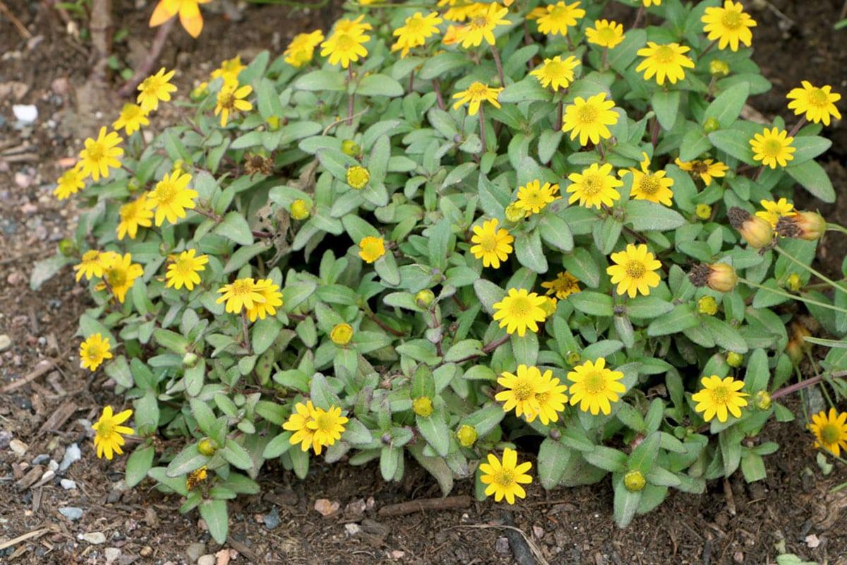 Husarenknöpfchen (Sanvitalia procumbens)