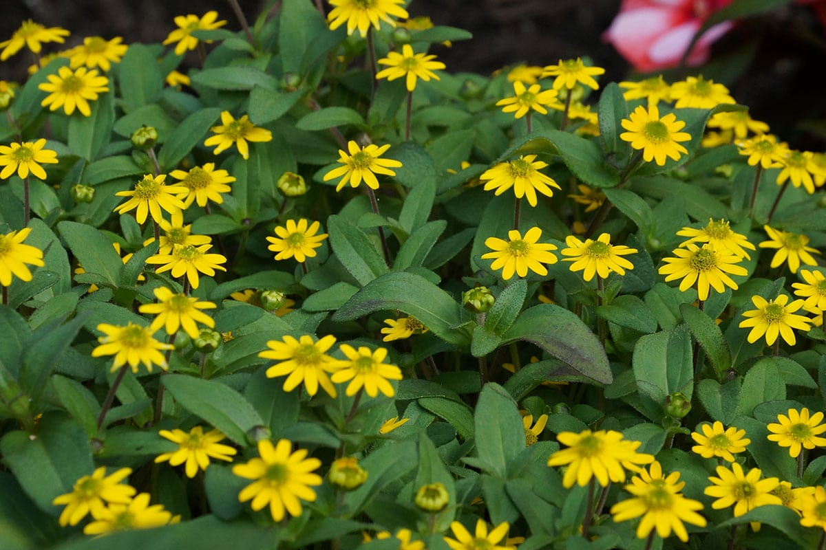 Husarenknopf (Sanvitalia procumbens)