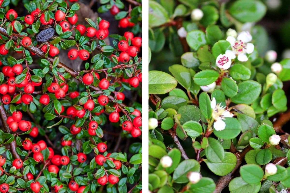 Immergrüner Teppich-Mispel (Cotoneaster dammeri)