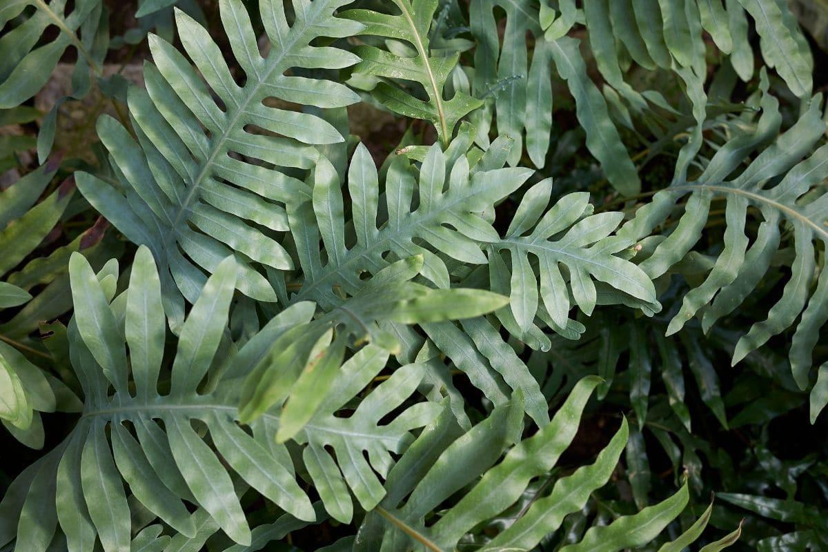 Känguru-Farn (Microsorum diversifolium)