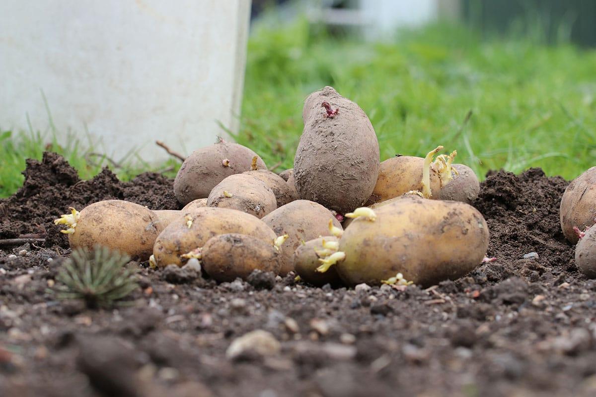 Heimisches Knollengemüse: Kartoffeln/Erdäpfel (Solanum tuberosum)