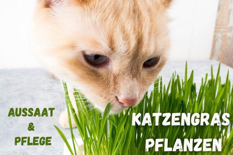 Katzengras pflanzen Aussaat & Pflege - Titelbild