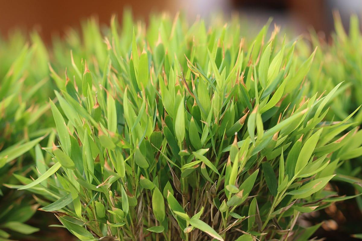 Seychellengras (Pogonatherum paniceum)