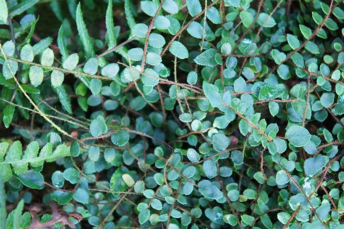 Klippenfarn (Pellaea rotundifolia)