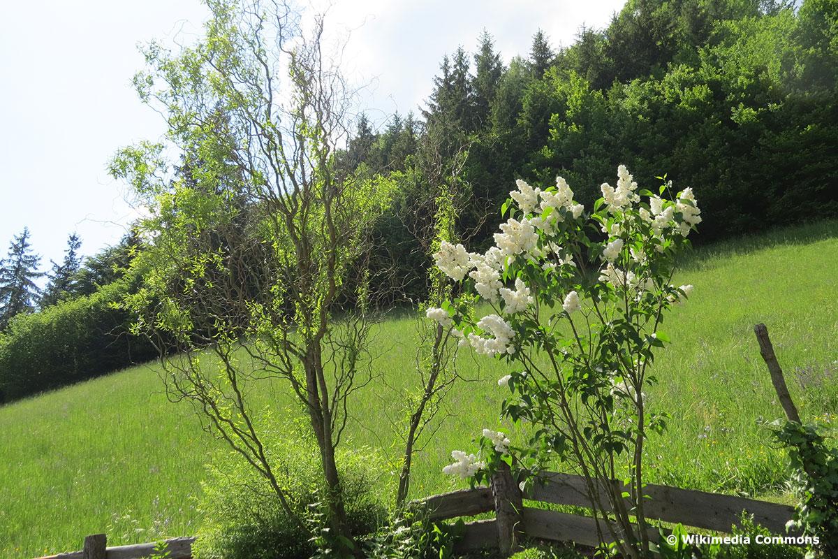 Salix matsudana 'Tortuosa' im Garten