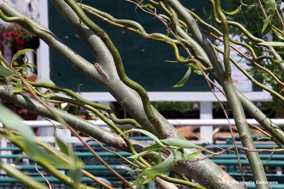 Salix matsudana 'Tortuosa' im Kübel