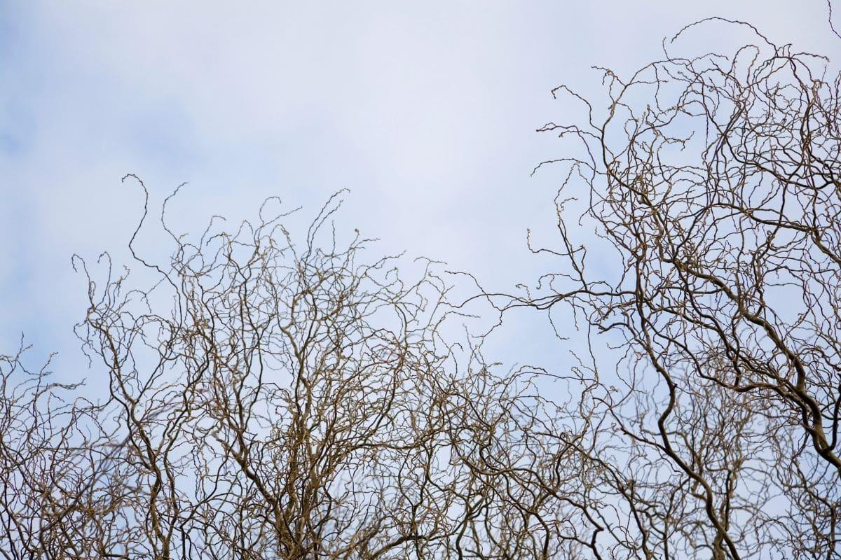 Korkenzieherweide (Salix matsudana 'Tortuosa')