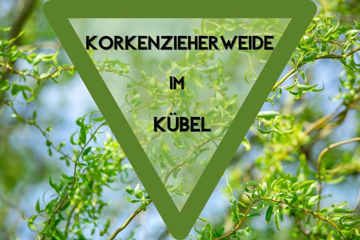 Korkenzieherweide in Kübel pflanzen & pflegen - Titelbild