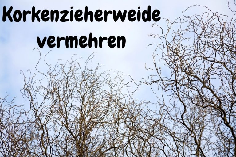 Korkenzieherweide vermehren so klappt's - Titelbild