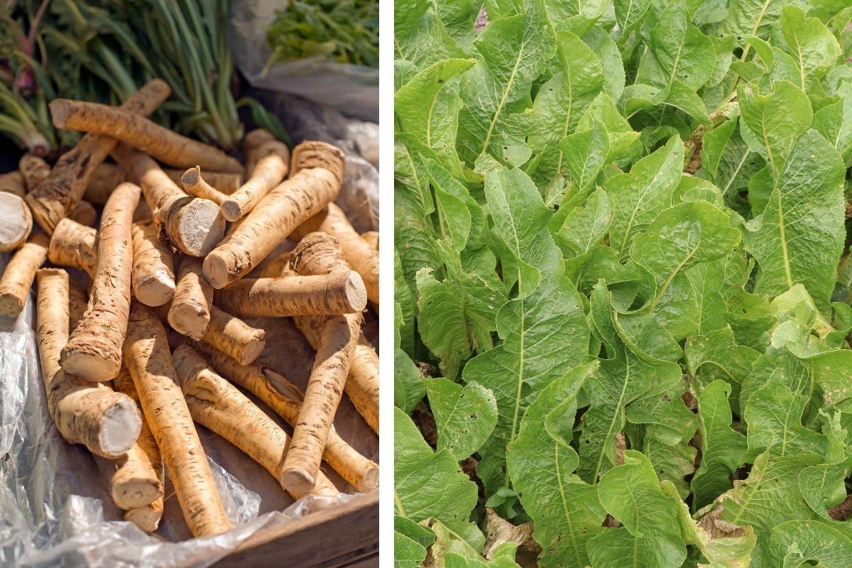 Meerrettich/Kren (Armoracia rusticana)