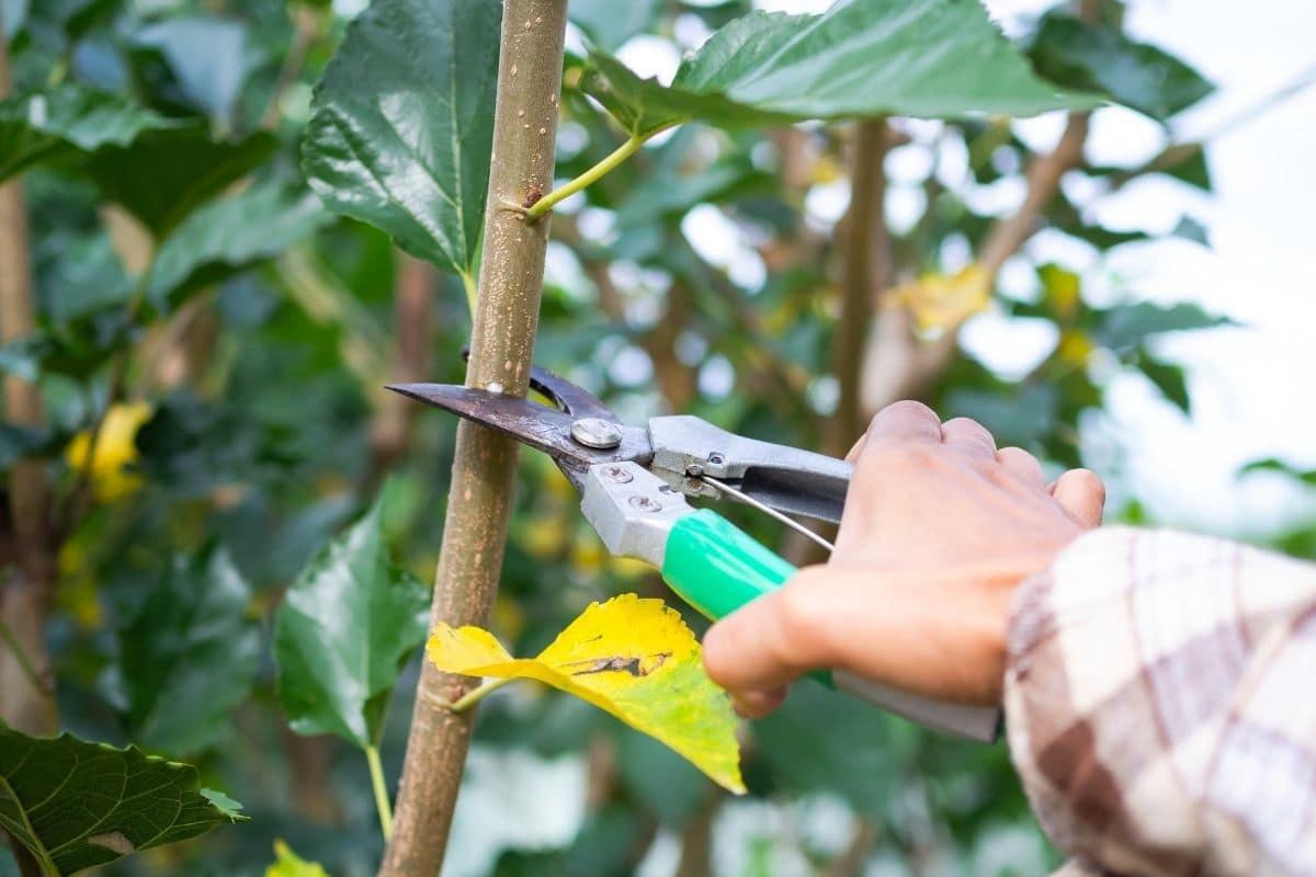 Maulbeerbaum (Morus) schneiden