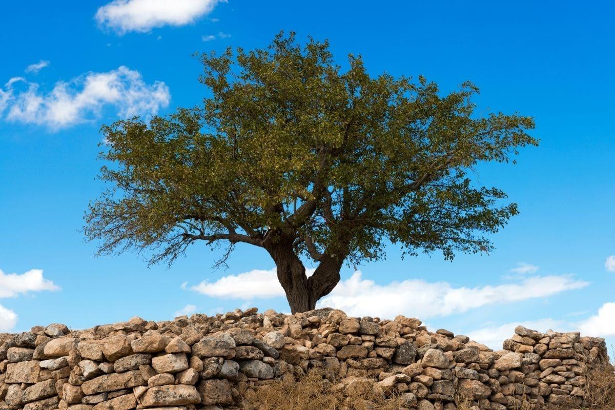 Schnitt eines Maulbeerbaums (Morus)