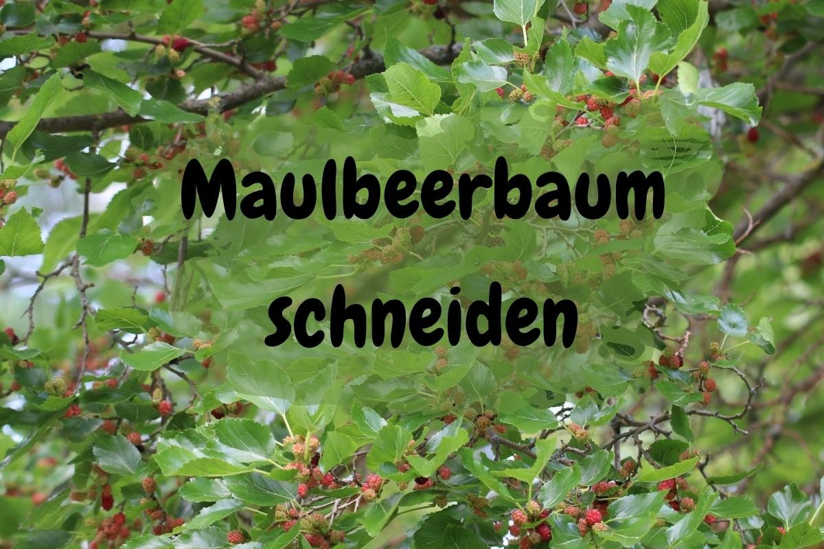 Maulbeerbaum schneiden: so klappt's - Titelbild