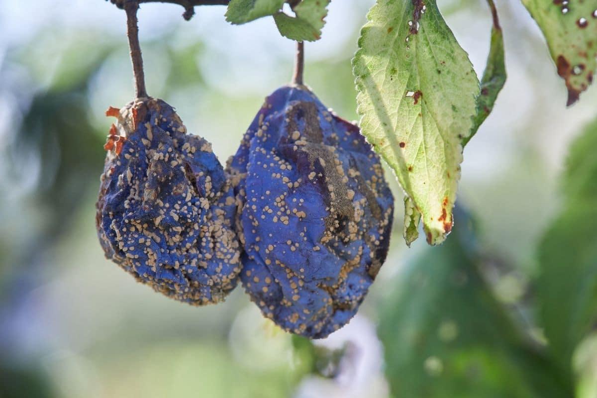 Pflaumenbaum-Krankheit: Monilia-Fruchtfäule