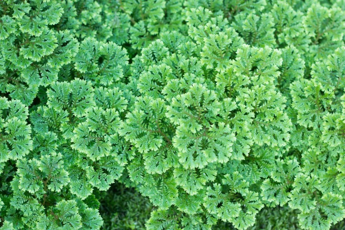 Moosfarn (Selaginella apoda)